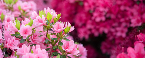 Tuinposter Azalea Pink azalea flowers background ピンク色のツツジの花 背景