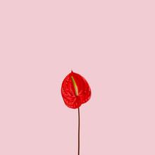 Anthurium Flowers On Pink Background