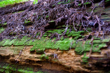 Colrful Green Moss And Bark On A Redwood Tree Trunk
