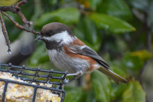 Cute Little Chickadee Perched On A Suet Feeder With Oak Leaves In The Background.