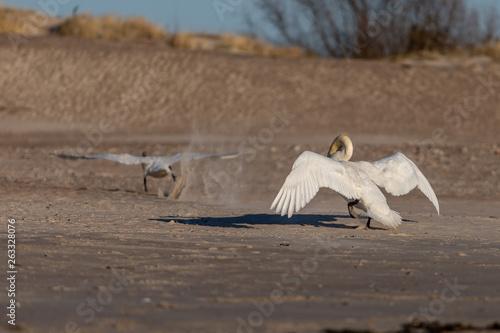 Fotografie, Tablou  Swans fighting in the beach