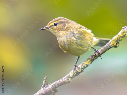 Valokuva Common Chiffchaff bright garden background