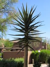 Tall Hercules Aloe Tree Which ...
