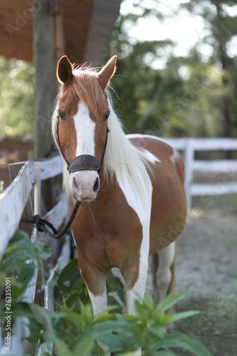 Paint Horse at Ranch