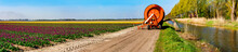 Watering Of A Multi Colored Tulip Field, Panorama