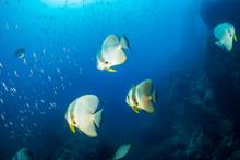 Large Batfish On A Tropical Co...