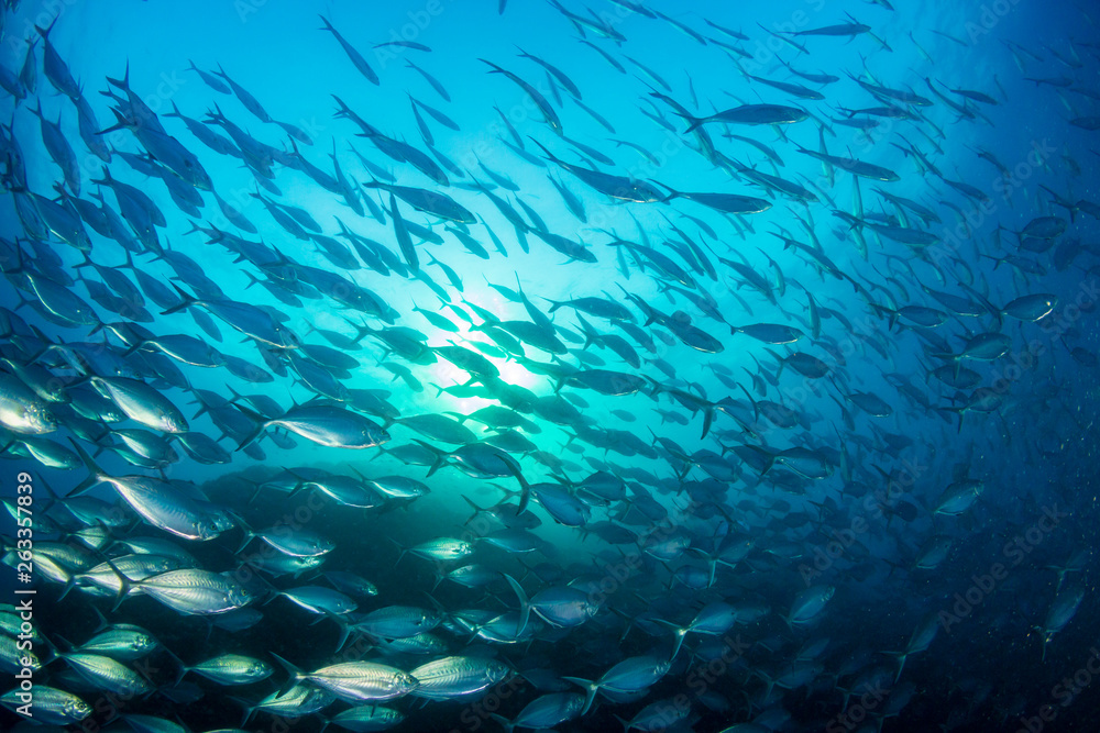 Fototapety, obrazy: A large school of predatory Jacks in a blue ocean above a tropical coral reef