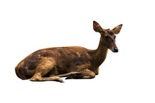 Deer Pictures On A White Background Have Different Verbs.