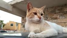 Gato Amarillo Y Blanco Acostad...