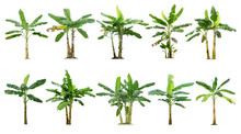 Banana Trees Collection.Tree Isolated On A White Background