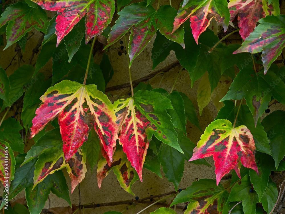 Autumn colours of the Parthenocissus tricuspidata