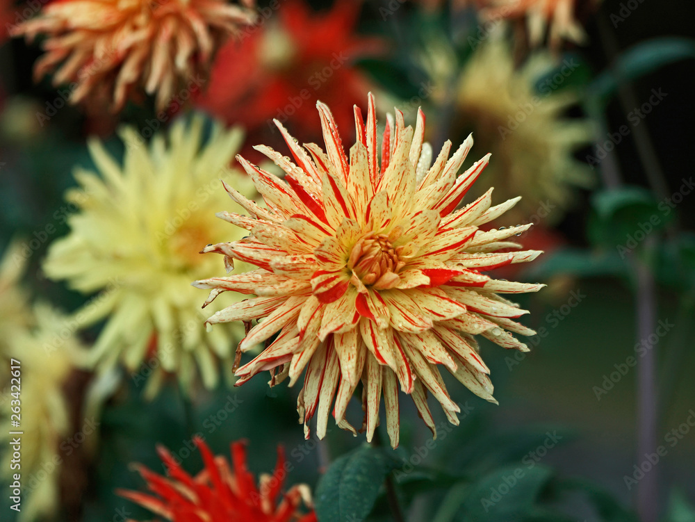 Dahlia 'Striped Vulcan' close up in a flower border