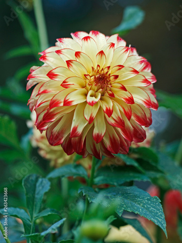Dahlia 'Lady Darlene' close up in a flower border