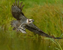 Osprey With Rainbow Trout In Claws