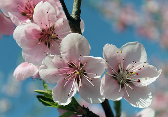 Panel Szklany Do sypialni pink cherry blossom flower in spring time over blue sky.