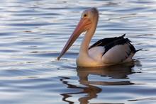 Australian Pelican (Pelecanus Conspicillatus) In Water, Noosa River, Noosaville, Queensland, Australia, Oceania