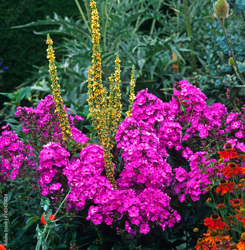 Detail of colourful border with Verbascum and Phlox