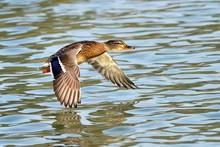 Mallard (Anas Platyrhynchos) Female In Flight, Lake Zug, Zug, Switzerland, Europe
