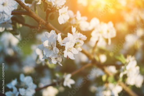 Fototapety, obrazy: Spring time apple tree blossom background with sun. Beautiful nature scene with blooming apple tree and sun flare. Sunny spring wallpaper