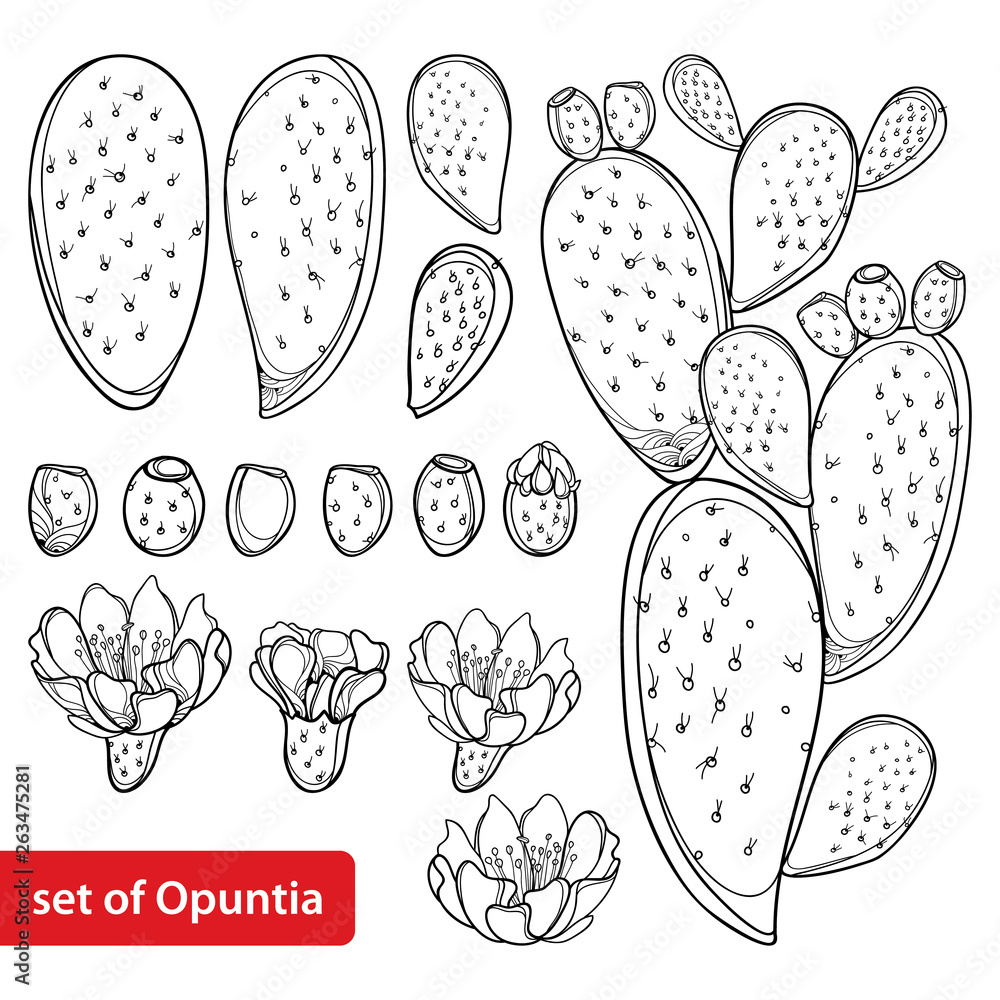 Fototapeta Set with outline cactus Indian fig Opuntia or prickly pear plant, fruit, flower and stem in black isolated on white background.