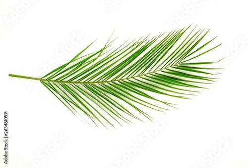 Pinturas sobre lienzo  tropical green palm leaf on a white background