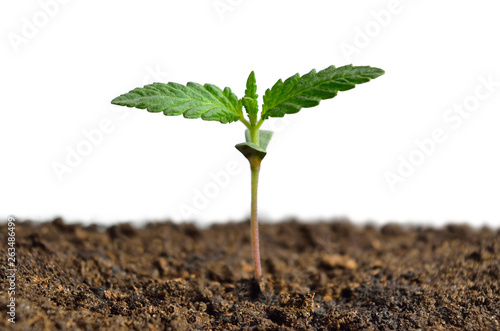 Vászonkép Cannabis sprout isolated on white background. Growing hemp.