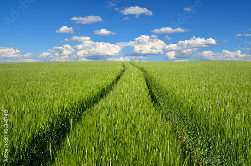 Fotografia  Young ears of grain on the background of blue sky