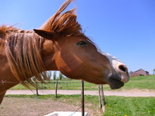 Horse Shaking Head To Remove All The Flies