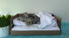 Scottish Kitten Lie In White Tiny Bed And Playing With Toy.