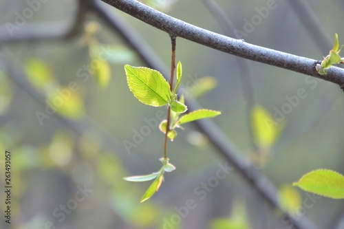 Poster Printemps Branch of tree with new fresh green leaves in spring day with blurred bokeh on background. Spring green bush with beautiful small green leaves and backlit. Fresh floral summer backdrop with sun light