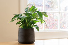 House Plant Next To A Window, ...