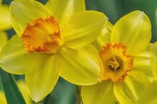 Two Narcissus Flowers In Close...