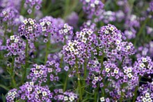 Cute Tender Alyssum With A Wonderful Aroma Of  Flowers Covered The Ground In The Garden.