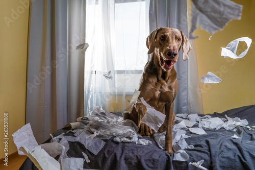 Weimaraner dog the dog is playing on the bed Fotobehang