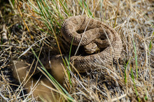 Rattlesnake Coiled And Ready T...