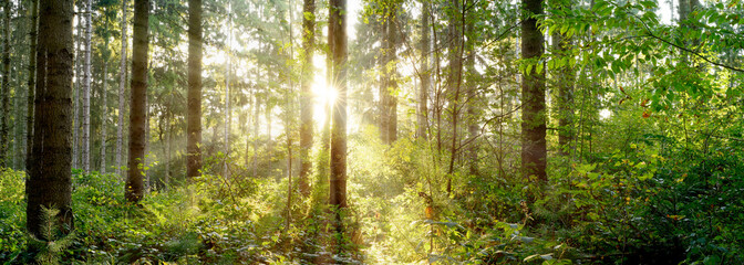 A wonderful morning in a forest with bright sunlight shining through the trees