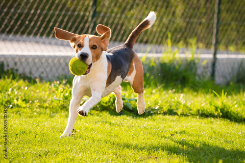 Fotografija Beagle dog with a ball on a green meadow during spring,summer runs towards camer