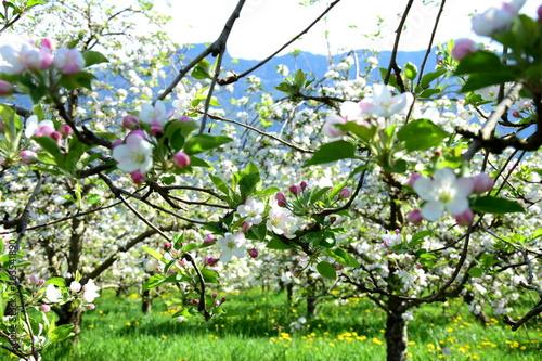 Apfelbäume in Blüte - Streuobstwiese