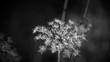 canvas print picture - Vertrocknete Pflanze in schwarzweiss