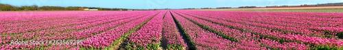 Spoed Fotobehang Roze Tulpenblüte am Bollenstreek