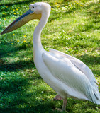 Fototapeta Fototapety do łazienki - Pelikan, pelikany, pelikanowate, Pelecanidae, Pelecaniformes