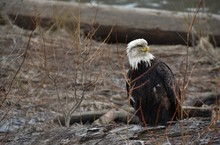 Sick, Possibly Injured, Old Bald Eagle Sitting On A Log Near A River In British Columbia, Canada. Feathers Are Dirty, Ragged And Ruffled, Bird Appears In Distress. Brown Branches In Background.