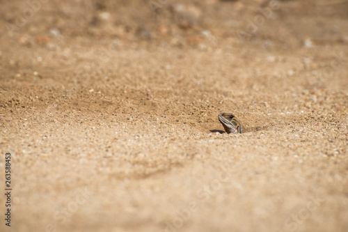 Leiolepis  belliana , Small-scaled lizards Wallpaper Mural