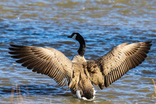 Canada Goose In Water