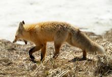 Red Fox - Big Yawn