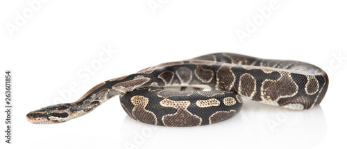 Fotomural Royal Python, or Ball Python (Python regius) in side view