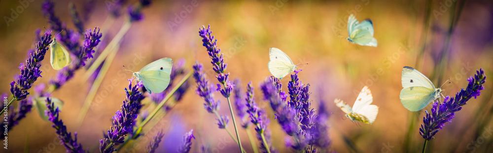 Fototapety, obrazy: white butterfly on lavender flowers macro photo