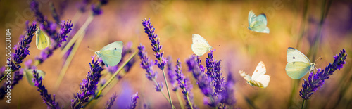 Fényképezés  white butterfly on lavender flowers macro photo