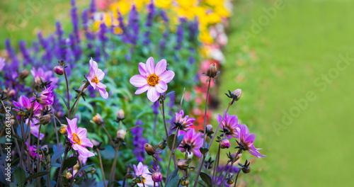 Photographie Beautiful pink dahlia flowers in summer garden
