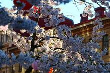 Cherry Tree Blossom At Järnto...